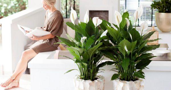 Цветок спатифиллиум в дизайна интерьера