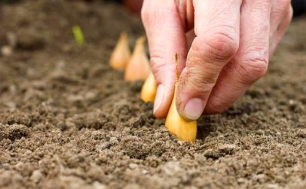 Когда садить лук севок