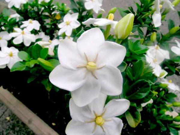 Как цветет гардения