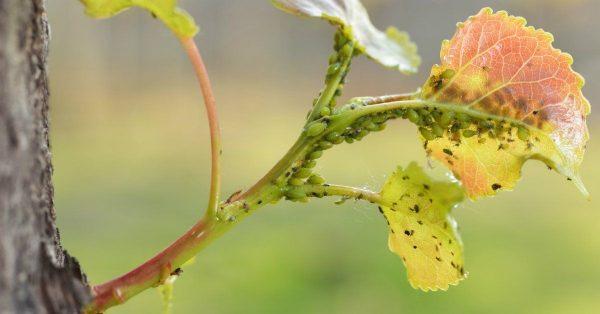 Растение чаще всего страдает от тли