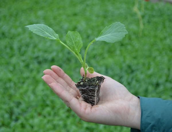 Пересаживание капусты в открытый грунт