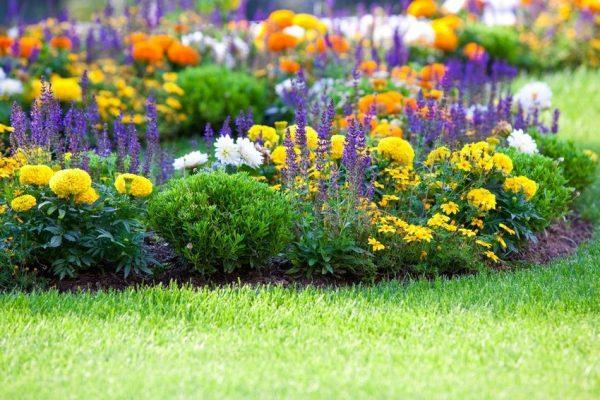 Гармоничное сочетание цветов на клумбе