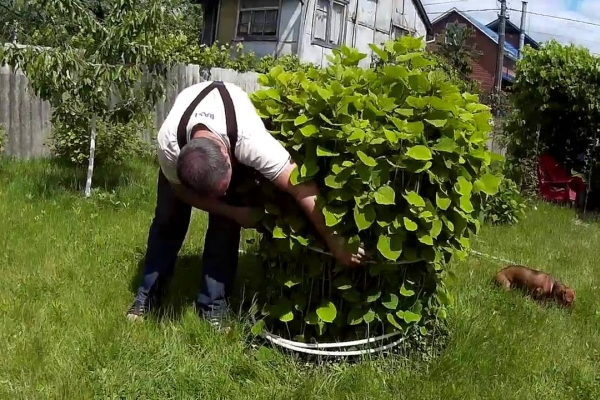 Уход за взрослым растением
