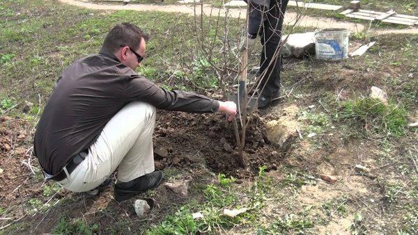 Как правильно садить растение