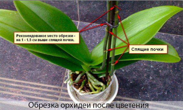 Как обрезать орхидею после цветения