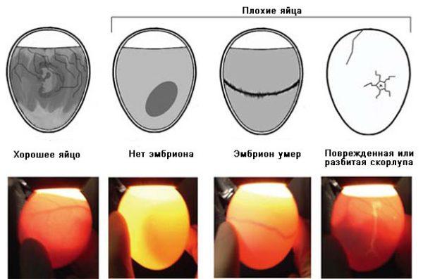 Проверка инкубируемых куриных яиц на оплодотворение