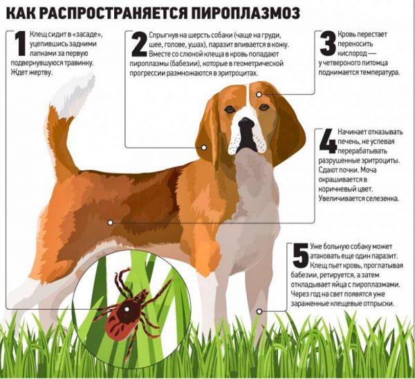 Как проявляется пироплазмоз у собак