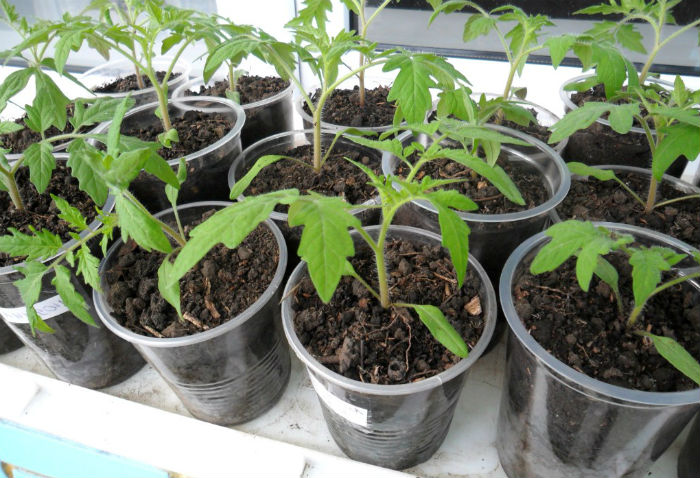 podkormka-rassady-pomidorov2