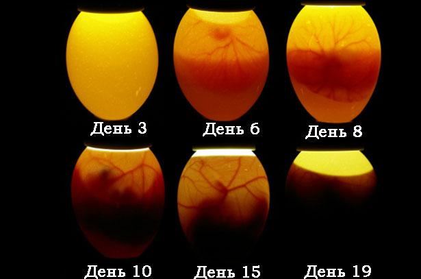 Развитие эмбрионов курицы в яйце