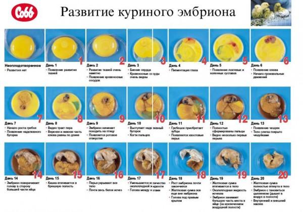 Таблица развития куриного эмбриона в процессе инкубации