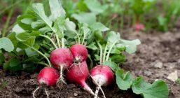 Fresh radish growing in garden