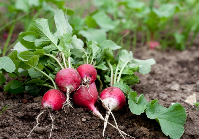 Fresh radish growing in garden