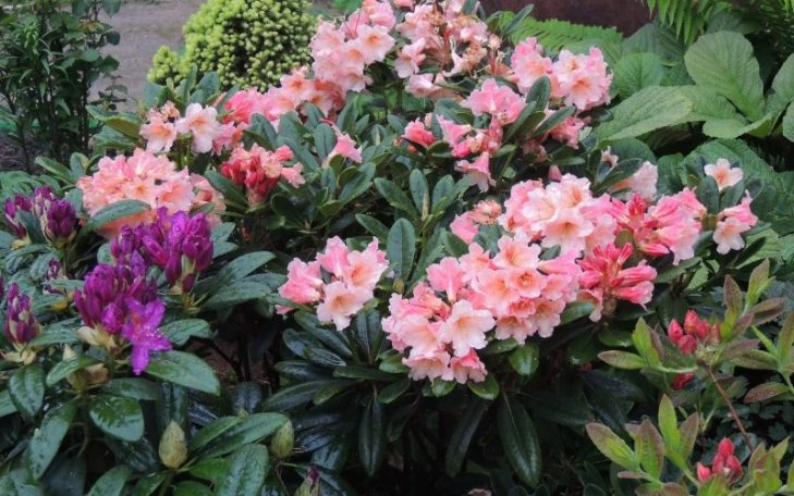 rododendron_23