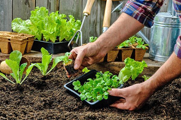 Посев зелени