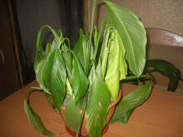 Поникшие листья спатифиллума из-за недостаточного полива