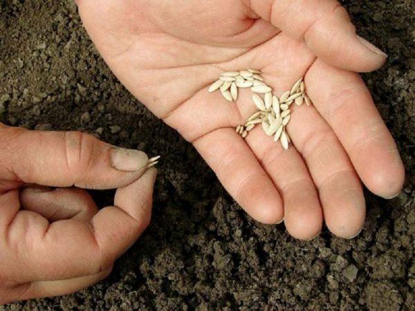 Перед посадкой семена огурцов лучше замочить