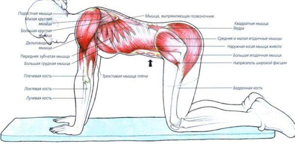 Какие мышцы работают во время упражения
