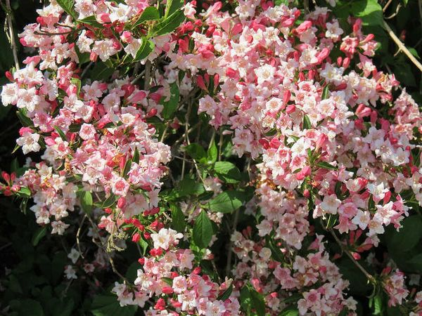 Вейгела: выращивание и уход в открытом грунте