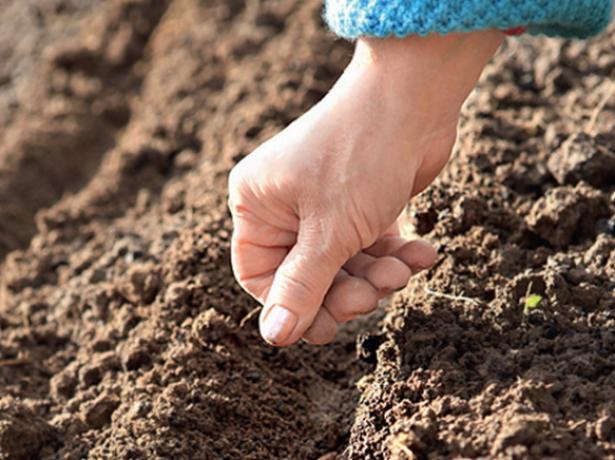 Высаживать семена моркови можно только в прогретый грунт