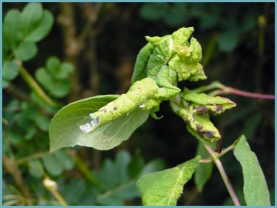 Поражение листьев жимолостной тлей