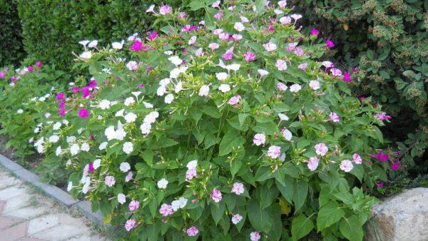 Цветущий куст мирабилиса