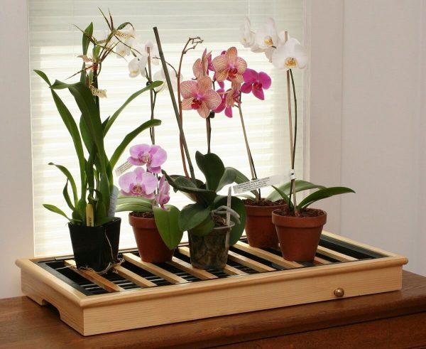 Выращивать орхидею лучше при +25 градусах