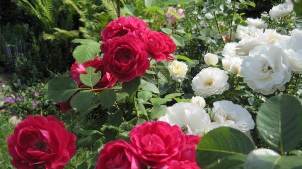 Кусты роз на дачном участке