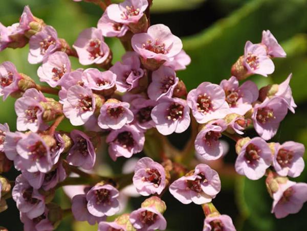 Цветение бадана