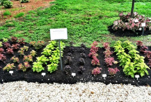 Высаживание растения в открытый грунт
