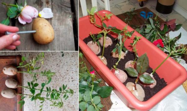 Как прорастить черенки при помощи картофеля