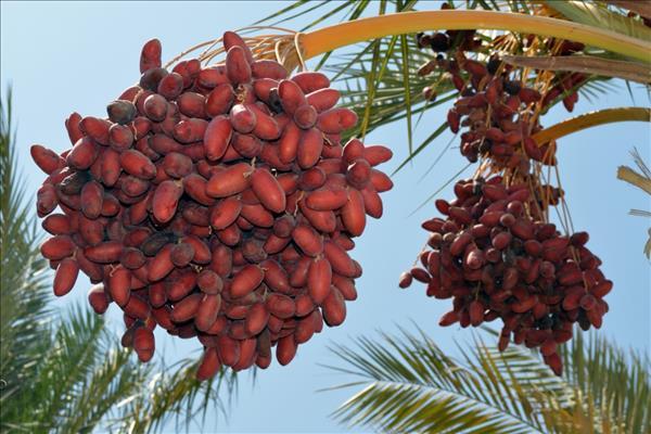 Как произрастают финиковые плоды