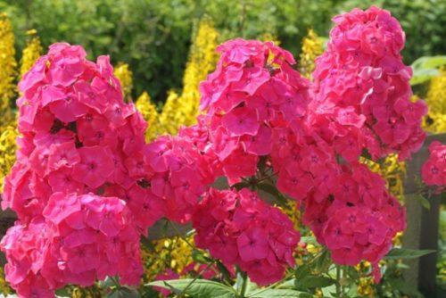 Флокс розовый