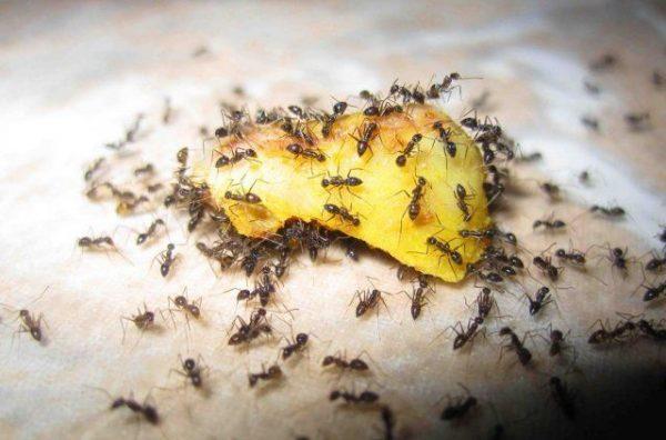 Сделайте для муравьев сладкие приманки