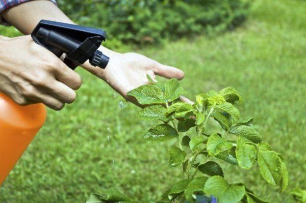 Приготовленным средством обработайте все кусты в саду