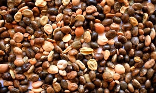 Семена люпинов
