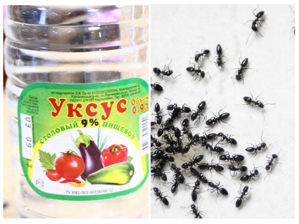 Как избавится от муравьев при помощи уксуса