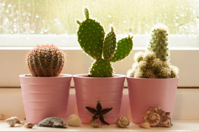 Как ухаживать за кактусами в домашних условиях в горшке