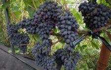 vinograd-kodryanka1_600x450