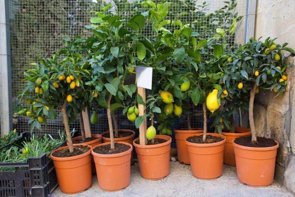 Лимонные деревья выращенные в домашних условиях