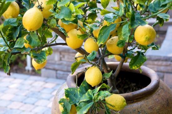 Когда нужно пересаживать лимонные деревья в новый горшок