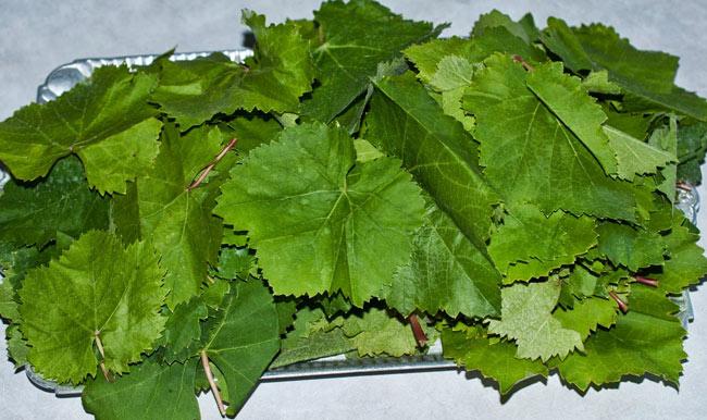 Сбор виноградных листьев