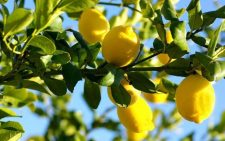 Limonnoe-derevo-1