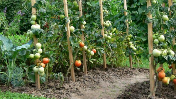 Все пораженные фитофторой кусты томатов нужно выбросить