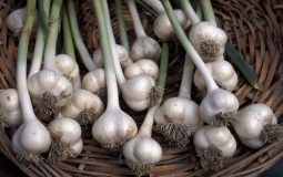 content_garlic_allium_sativum_dp357-768x504