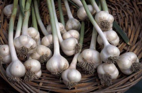 content_garlic_allium_sativum_dp357-768x504