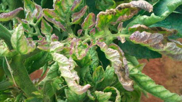 Фитофтороз на кустах помидор