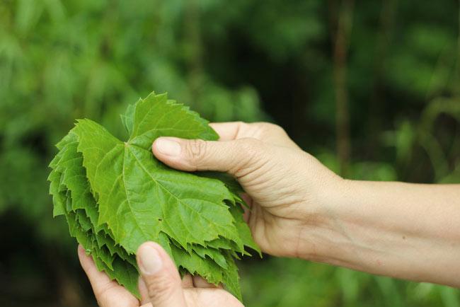 Виноградные листья стоит отбирать