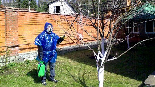 Разведенной бордосской жидкостью опрыскивают деревья