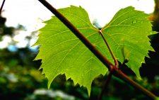 Заготовка виноградных листьев фото