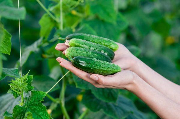 Огурцы могут горчить при недостаточном количестве удобрений